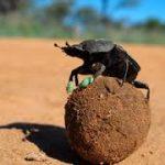 Escarabajo Pelotero. Ejemplo de reciclado de residuos
